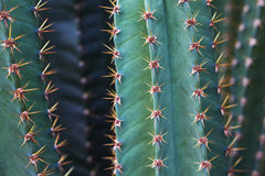 Pelle e spine succulenti fotografia stock libera da diritti