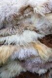 Pelli di pecora rare naturali della razza di multi colore Immagini Stock Libere da Diritti