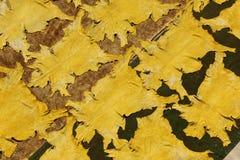 Pelli tinte della capra Fotografie Stock
