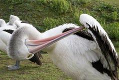 Pellican σε έναν ζωολογικό κήπο Στοκ Εικόνες