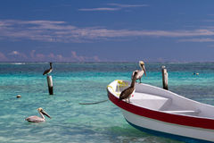Pellicani ad Isla Holbox Immagini Stock