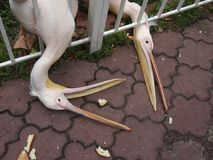 Pellicani affamati nella gru a benna dello zoo con i pezzi del becco di pane Fotografie Stock Libere da Diritti