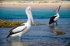 Pellicani alla spiaggia Fotografia Stock Libera da Diritti