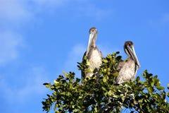 Pellicani appollaiati in un albero nei terreni paludosi di Florida fotografia stock