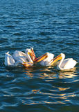 Pellicani bianchi Immagini Stock