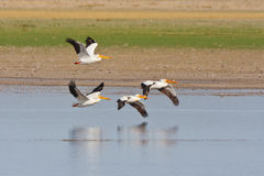 Pellicani bianchi americani in volo Fotografie Stock