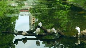 Pellicani bianchi che si siedono sull'albero caduto nel mezzo del lago al parco zoologico archivi video