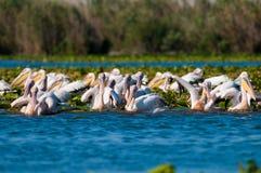 Pellicani bianchi nel delta di Danubio fotografie stock libere da diritti