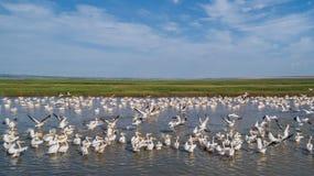 Pellicani bianchi nel delta di Danubio, Romania Immagine Stock
