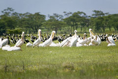 Pellicani bianchi nel lago Naivasha, grande Rift Valley, Kenya, Africa Fotografia Stock Libera da Diritti