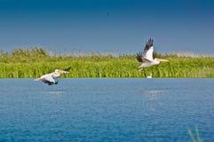 Pellicani che decollano nel delta di Danubio Fotografia Stock