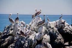 Pellicani che si siedono sulle rocce bianche Fotografia Stock