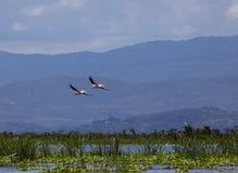 Pellicani che volano sopra il lago Naivasha Fotografie Stock