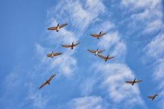 Pellicani che volano in volo spesso con gli uccelli di forbici o della fregata nella formazione in Puerto Vallarta Messico Fotografia Stock Libera da Diritti