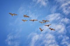 Pellicani che volano in volo spesso con gli uccelli di forbici o della fregata nella formazione in Puerto Vallarta Messico Fotografie Stock