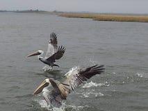 Pellicani della Luisiana fotografia stock libera da diritti