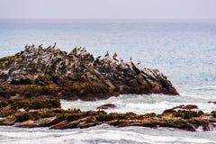 Pellicani di Brown che si siedono su una roccia, la costa dell'oceano Pacifico, California fotografia stock libera da diritti