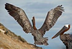 Pellicani di Galapagos Fotografia Stock