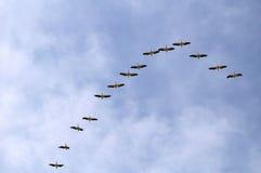 Pellicani durante il volo Immagine Stock