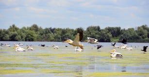Pellicani e cormorans che decollano nel Danubio Fotografia Stock Libera da Diritti