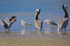 Pellicani ed uccelli dei gabbiani Immagini Stock Libere da Diritti