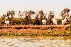 Pellicani in masai Mara Immagine Stock