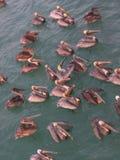 Pellicani nel golfo del Messico fotografie stock libere da diritti