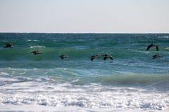 Pellicani praticanti il surfing Fotografie Stock Libere da Diritti