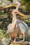Pellicani rosa sul ceppo Fotografia Stock
