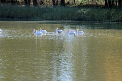 Pellicani su un lago Fotografie Stock