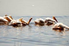 Pellicani su un lago Immagine Stock