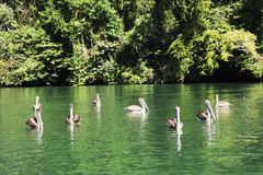 Pellicani sul fiume Dulce vicino a Livingston Fotografia Stock Libera da Diritti