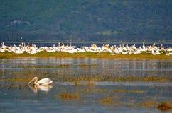 Pellicani sul lago Immagine Stock Libera da Diritti