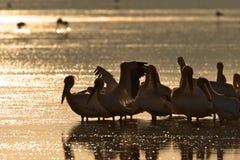 Pellicani sul lago ad alba Immagine Stock