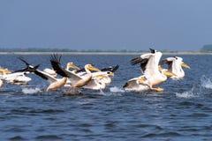 Pellicani sul lago nel delta di Danubio, bird-watching della fauna selvatica della Romania immagini stock