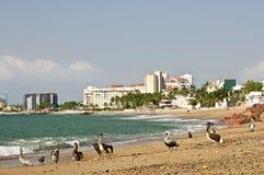 Pellicani sulla spiaggia nel Messico fotografie stock