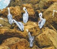 Pellicani sulle rocce Fotografia Stock