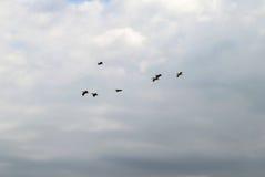 Pellicani in volo fotografia stock