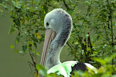 Pellicano australiano (conspicillatus del Pelecanus) Immagine Stock
