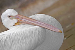 Pellicano bianco Fotografia Stock