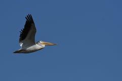 Pellicano bianco americano in volo Fotografia Stock
