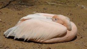 Pellicano bianco che riposa sulla sabbia calda stock footage