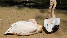 Pellicano bianco che riposa sulla sabbia calda video d archivio