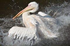 Pellicano bianco che spruzza all'acqua Fotografia Stock