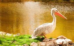 Pellicano bianco dell'uccello fotografia stock