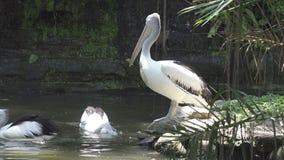 Pellicano bianco di Reat e la famiglia del pellicano allo zoo stock footage