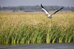 Pellicano bianco durante il volo Fotografia Stock