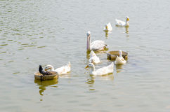 Pellicano bianco ed anatra bianca Fotografia Stock