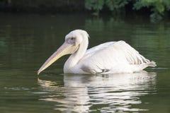 Pellicano bianco in lago immagine stock libera da diritti
