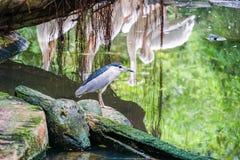 Pellicano bianco nello zoo fotografia stock libera da diritti